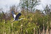 Heron flying — Stock Photo