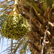 Date palm tree (Phoenix dactylifera) — Stock Photo