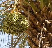 Date palm tree (Phoenix dactylifera) — Stock Photo