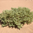 Desert plant — Stock Photo