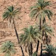 Palm tree (Phoenix dactylifera) — Stock Photo