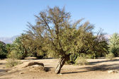Argan tree — Stock Photo