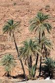 Palm tree (Phoenix dactylifera) — Stock Photo