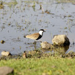 Stock Photo: Spur winged lapwing plover (Vanelius spinosus)