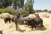 Cosecha de áfrica — Foto de Stock