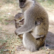 Stock Photo: Vervet monkey (Cercopithecus ethiops)