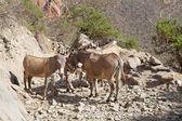 Somali wild ass (Equus africanus somalicus) — Stock Photo
