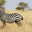 Zebra (Equus burchellii) — Stock Photo