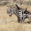 Zebras (Equus burchellii) in the savanna — Stock Photo