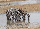 Zebra (Equus burchelli) — Stockfoto