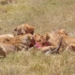 African lioness (Panthera leo) — Stock Photo