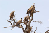 White backed vulture (Gyps africanus) — Stock Photo