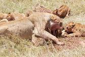African lion (Panthera leo) — Foto Stock