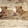 African lion cubs (Panthera leo) — Stock Photo