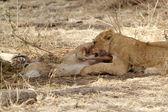 African lion (Panthera leo) — Stok fotoğraf