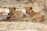African lion cubs (Panthera leo) — Stock Photo
