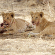 Stock Photo: Africlion cubs (Pantherleo)