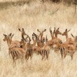 Stock Photo: Impal(Aepyceros melampus)