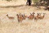 Impala (Aepyceros melampus) — Stock Photo
