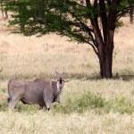 Eland (Taurotragus oryx) — Stock Photo #36541363