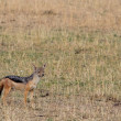 Black backed jackal (Canis mesomelas) — Stock Photo