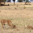 Stock Photo: Africlioness (Pantherleo) and cubs