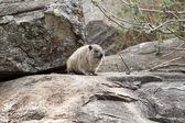 Rock hyrax (Procavia capensis) — Stock Photo