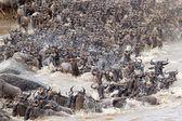 Wildebeest (Connochaetes taurinus) great migration — Stock Photo