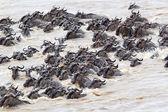 Migración de los ñus (connochaetes taurinus — Foto de Stock