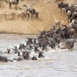 Wildebeest (Connochaetes taurinus) migration — Foto Stock