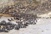 Wildebeest (Connochaetes taurinus) migration — Zdjęcie stockowe