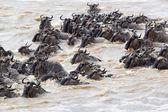 Wildebeest (Connochaetes taurinus) migration — Stock Photo