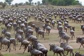 牛羚 (斑纹角马) 迁移 — 图库照片