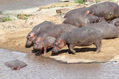 Hippo (Hippopotamus amphibius) — Stock fotografie