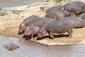 Hippo (Hippopotamus amphibius) — 图库照片