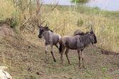 Wildebeest (Connochaetes taurinus) — Stock Photo
