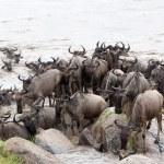 Постер, плакат: Wildebeest Connochaetes taurinus migration