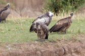 Ruppell's vulture (Gyps rueppellii) — Stock Photo