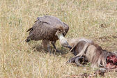 White backed vulture ( Gyps africanus) — Stock Photo