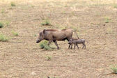 Warthog (Phacochaerus africanus) — Stock Photo