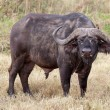 Stock Photo: Africbuffalo (Syncerus caffer)