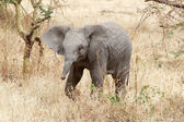 African elephant (Loxodonta africana) — Stock Photo