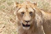 Lion d'Afrique (Panthera leo) — Photo