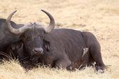African buffalo (Syncerus caffer) — Stock Photo