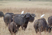 African buffalo (Syncerus caffer) — Stock Photo