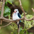 Woodland kingfisher (Halcyon senegalensis) — Stock Photo