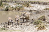 Warthog (Phacochoerus africanus) — Stock Photo