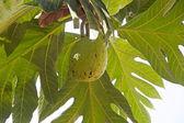 Breadfruit (Artocarpus altilis) — Stockfoto