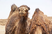 Dromedary camel (Camelus dromedarius) — Stock Photo