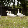 Fun flock of geese — Stock Photo #29178955